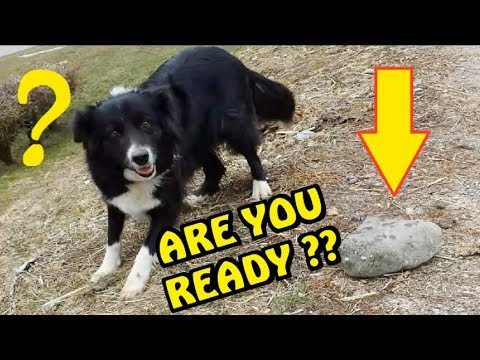 BORDER COLLIE  – VIDEO GAG – FUNNY DOG – LOL
