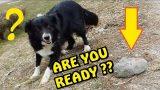BORDER COLLIE  – VIDEO GAG – FUNNY DOG – LOL